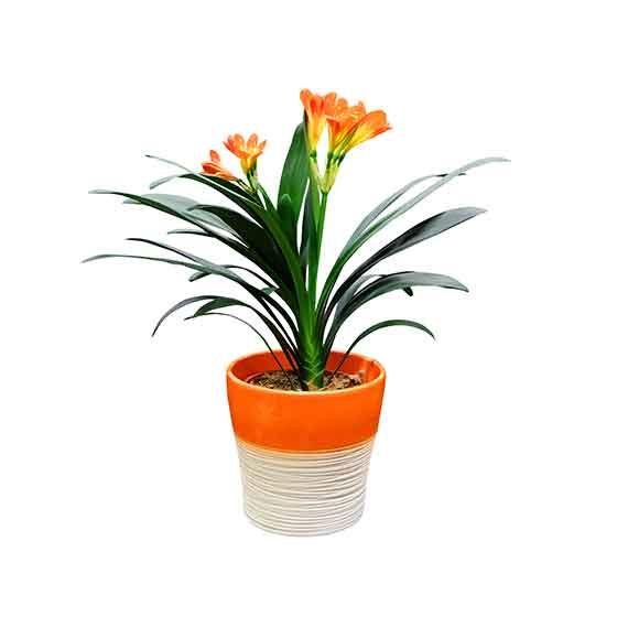giftige-pflanzen-clivia