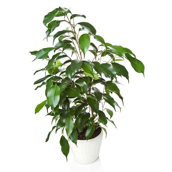 giftige-pflanzen-fuer-katzen-Birkenfeige