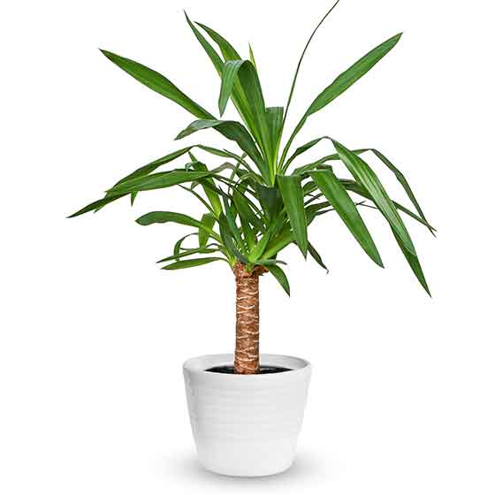 giftige-pflanzen-fuer-katzen-Yuccapalme