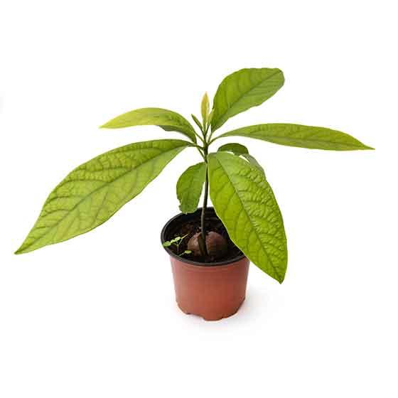 giftige-pflanzen-fuer-katzen-avocado