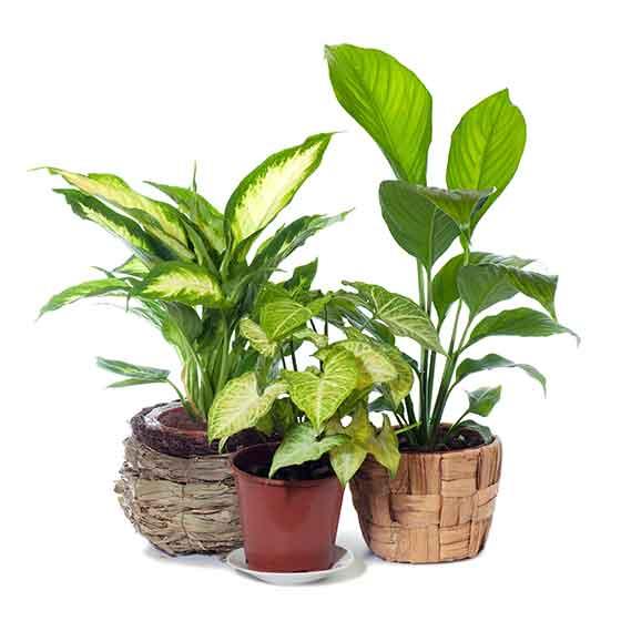 giftige-pflanzen-fuer-katzen-dieffenbachia