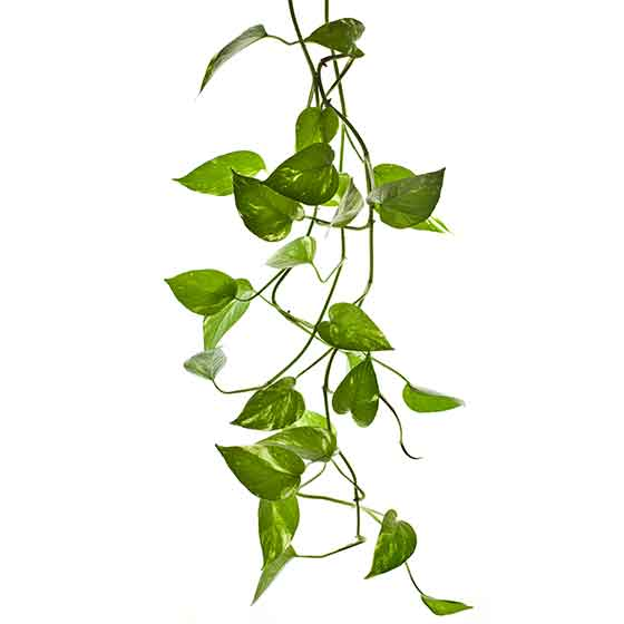 giftige-pflanzen-fuer-katzen-efeutute