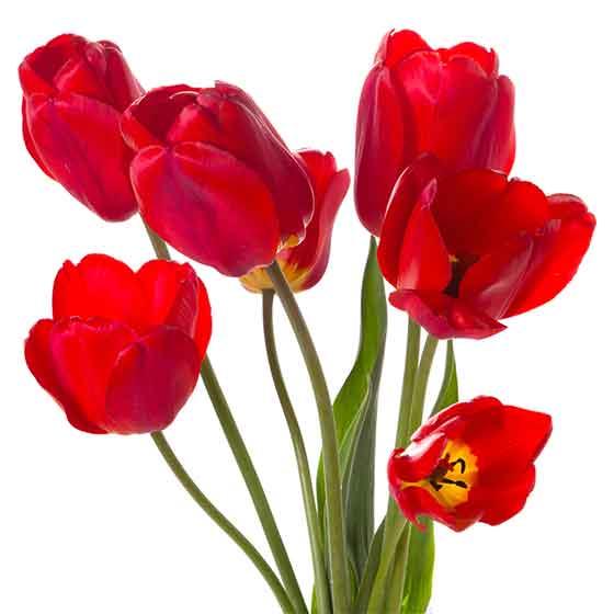 giftige-pflanzen-fuer-katzen-tulpen-k
