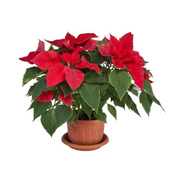 giftige-pflanzen-fuer-katzen-weihnachtsstern