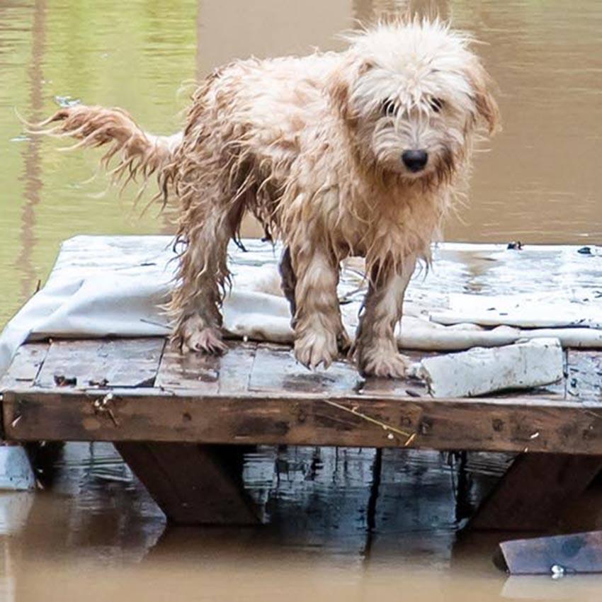 Flood,/,Hurricane,Aftermath,Dog,In,Flooded,Yards,Animals,Seeking
