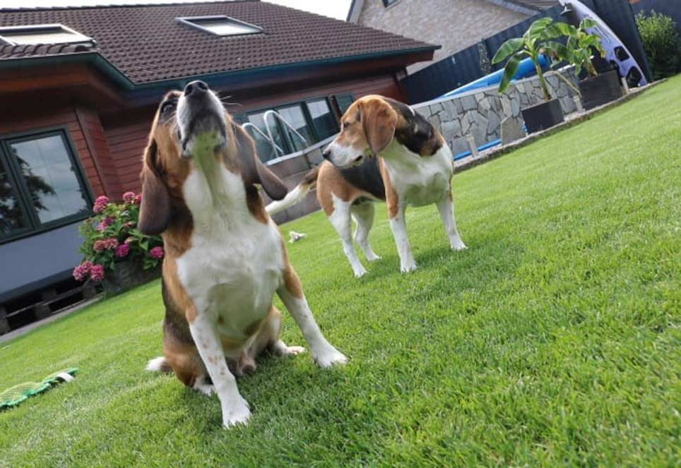Beagle-Jerry-Marla-im-Garten