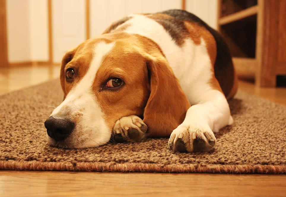 Beagle-Miles-auf-Teppich