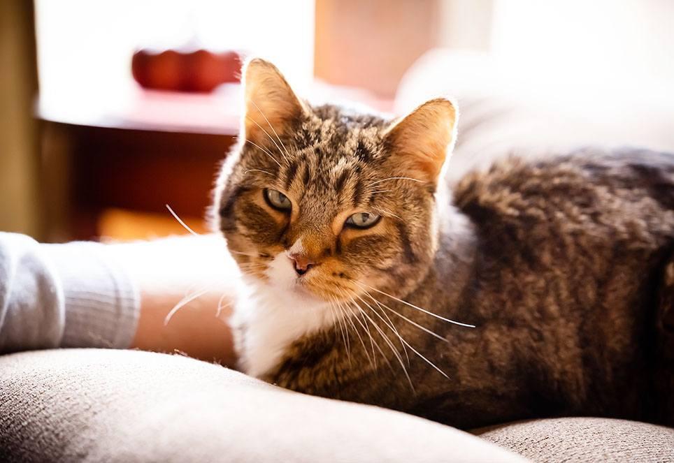 Auf dem Foto ist eine ältere Katze zu sehen. Sie liegt auf einem Sofa uns blickt entspannt in die Kamera.