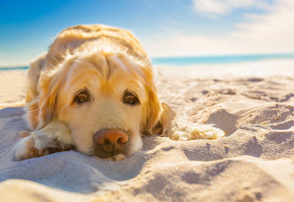 Bild zeigt einen Golden Retriever mit pinker Nase, liegend am Strand in der Sonne, der Kopf ist abgelegt